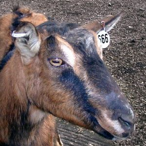 goat with 666 tag on ear